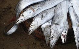 Ngư dân trúng đậm cá hố, cá nục, lãi hàng chục triệu đồng