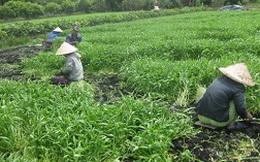 Thu nhập cao nhờ trồng rau an toàn