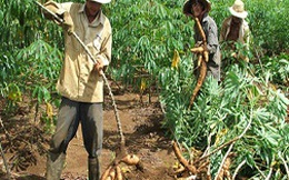 Nông dân ồ ạt chặt cây sắn để bán