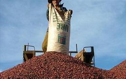 Cà phê Việt Nam đang hấp hối?