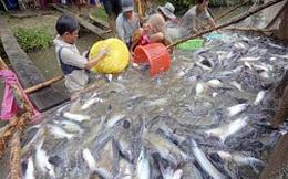 Giá cá tra giảm: người nuôi lỗ, doanh nghiệp không mặn mà