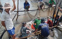 Giá cá tra rớt đáy: Người nuôi rục rịch bỏ nghề