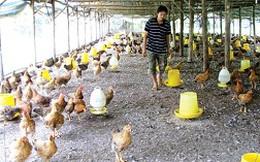Chăn nuôi hấp hối vì thịt ngoại