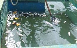 Thủy sản nuôi chết trắng do dầu loang