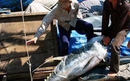 Giá cá ngừ có thể tăng do doanh nghiệp Nhật tới khảo sát