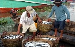 Nhiều ngư dân Cà Mau trúng đậm vụ khai thác biển