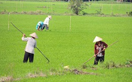 Không nên đổ xô trồng lúa ngoại lai