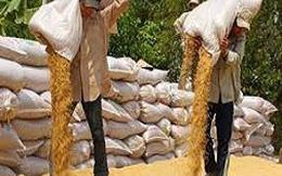 Vay mua tạm trữ thóc gạo: Lãi suất hỗ trợ không quá 10%/năm