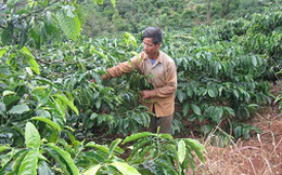 Vấn đề tái canh khiến nông dân trồng cà phê đau đầu