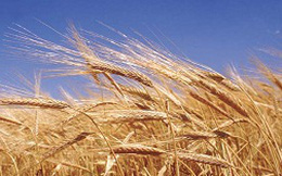 Nông dân Úc làm giá lúa mì
