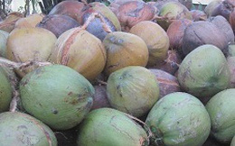 Dừa khô tăng giá từng ngày