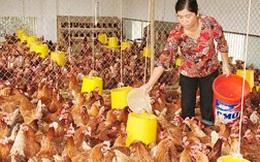Giá thức ăn cao: Người chăn nuôi lao đao