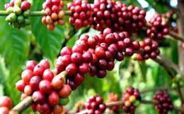 Thị trường cà phê rối loạn do doanh nghiệp bán phá giá