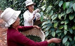 Nông dân nắm giá hồ tiêu xuất khẩu