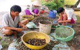 Làng quê ô nhiễm vì… vỏ ốc bươu vàng