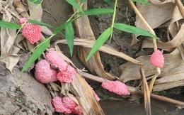 Khẩn cấp ngăn chặn tình trạng buôn bán, nhân nuôi ốc bươu vàng