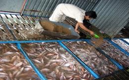 Giá cá điêu hồng giảm, nông dân ngại thả giống