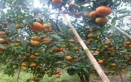 Yên Bái: Cam canh được mùa, được giá