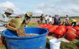 Nuôi tôm nước lợ 2013: Được mùa sau nhiều vụ thất bát