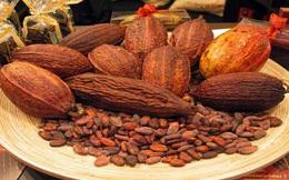 Cacao Việt: Tại sao không?
