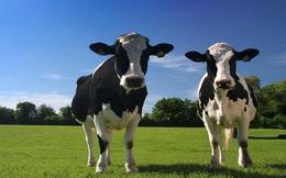 Mỹ cấm dùng kháng sinh trong chăn nuôi