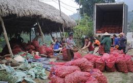 Nghệ An: Tư thương ép giá mua ngô, gừng
