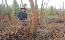 Tiêu chết, nhà nông Gia Lai mất 500 tỷ đồng