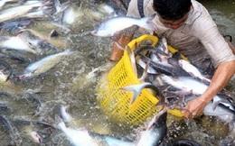 Xuất khẩu cá tra 2013 ước đạt 1,8 tỷ USD