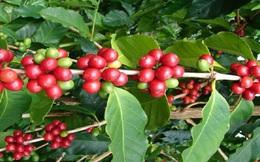 Khó xuất khẩu cà phê tại chỗ