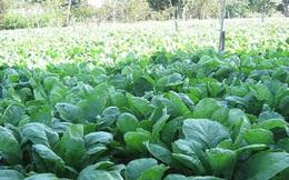 Củ cải trắng được mùa kép