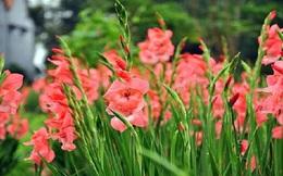 Lâm Đồng: Hoa lay ơn Tết hút hàng, được giá