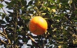 Giá 1 quả cam bằng cả yến thóc