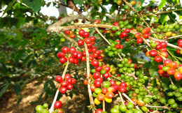 Trên 140.000 ha cà phê cần 'trẻ hóa'