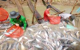 ĐBSCL: Giá cá tra tiếp tục tăng