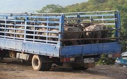 Đề nghị tạm dừng nhập gia súc qua cửa khẩu Lao Bảo