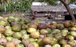 Giá dừa khô Tiền Giang liên tục tăng mạnh, khan hàng