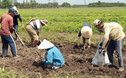 """Nông dân trồng khoai mỡ """"lao đao"""" vì giá thấp"""