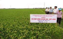 Việt Nam dư sức làm lúa đặc sản, giá gạo ở đáy vì ai?
