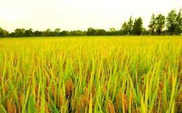 FAO: Giá gạo toàn cầu có thể sẽ tăng trong năm nay