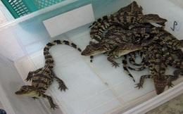 Cá sấu tăng giá, mừng mà lo!