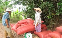 Kinh doanh lúa gạo thua lỗ vì yếu kém