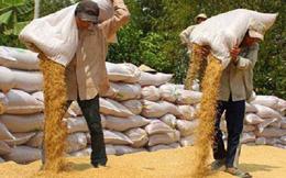 Mua tạm trữ lúa gạo: Hoàn thành chỉ tiêu, nông dân vẫn lỗ