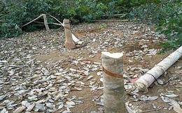 Tây Ninh: nông dân đốn bỏ gần 2.000ha cao su