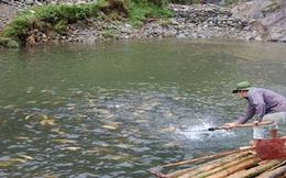 Sa Pa: Hàng tấn cá hồi chết do hạn hán
