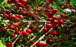 Đưa giá trị cà phê Việt ra thế giới