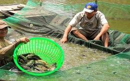 Đổ nợ vì cá rô đầu vuông