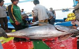 Tìm lối ra cho cá ngừ đại dương
