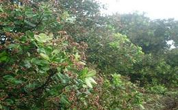 Đồng Nai tổ chức lại mô hình sản xuất để giữ diện tích cây điều
