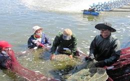 Nuôi tôm, cá nước lợ xen ghép được mùa, giá cao