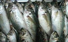 Ngư dân Quảng Ngãi bội thu cá nục